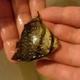 Atlantic Spadefish (Juvenile)