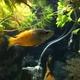 Parkinson's Rainbowfish