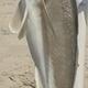 Grey Tilefish
