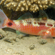 Blackspot Goatfish