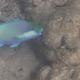 Bleeker's Parrotfish