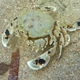 Spotted Moon Crab