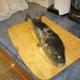 Oceanic Pufferfish