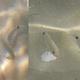 White Seabream (Juvenile)