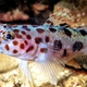 Leopard-spotted Goby