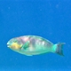 Greenlip Parrotfish