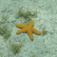 Conical-spined Sea Star