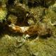 Small Red Scorpionfish