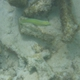 Pastel-green Wrasse (Juvenile)