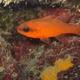 Mediterranean Cardinalfish
