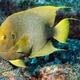 Guinean Angelfish