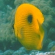 Zanzibar butterflyfish