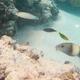 Island Goatfish