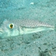 Orange-spotted Toadfish