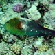 Dotted Parrotfish