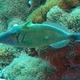Scythe Triggerfish