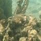 Stalked Sea Squirt