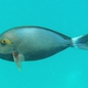 Yellowmask Surgeonfish
