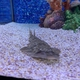 Grey-spotted Guitarfish