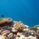 Pistillate Coral