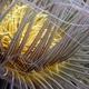 Flower Tube Anemone
