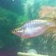 Ramu rainbowfish