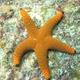 Indian Sea Star