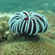 Robust Feather Star