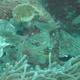 Oxina Cardinalfish