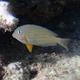 Striped Surgeonfish (Juvenile)