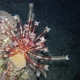 Long-arm Feather Star