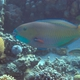 Red Sea Steephead Parrotfish