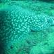 Leopard Torpedo Ray