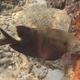 Honeycomb Rabbitfish