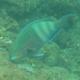 Eclipse Parrotfish