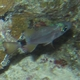 Ringtail Cardinalfish
