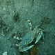 Ornate Blue Crab