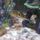 Orange-saddle Fugu Pufferfish
