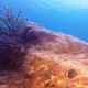 Ocean Surgeonfish (Juvenile)