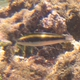 Bluehead (Juvenile)
