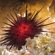 Rock-boring Urchin