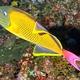 Crosshatch Triggerfish