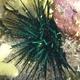 Blue-black Urchin