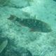 Stoplight Parrotfish (juvenile)