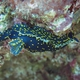 Azores Nudibranch