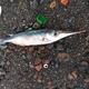 Slender Snipefish
