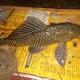 Vermiculated Sailfin Catfish