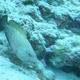 Blackfin Grouper
