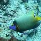 Yellowmask Angelfish