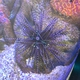 Double-spined Urchin